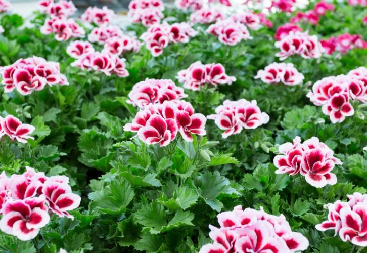 Пеларгония – талисман семьи. Растение с красными цветами принесет в дом благополучие, розовыми – любовь