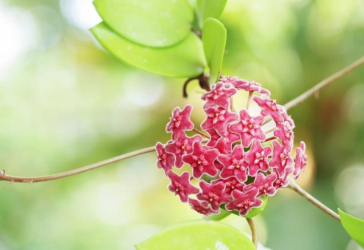 Восковой плющ — своеобразная «валентинка», которую преподносят в качестве признания в любви. Нежный цветок принято держать в спальне в качестве напоминания о любви