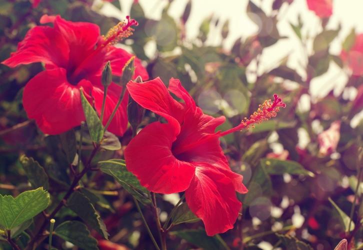 Гибискус или китайская роза считается символом мира и страсти. Если в вашей семье не хватает гармонии и «огня», растению самое место в вашем доме. Если вы не замужем, купите гибискус и у вас не будет отбоя от поклонников. Растение несет мощную энергетику, избавляет от комплексов и блоков, лени и апатии