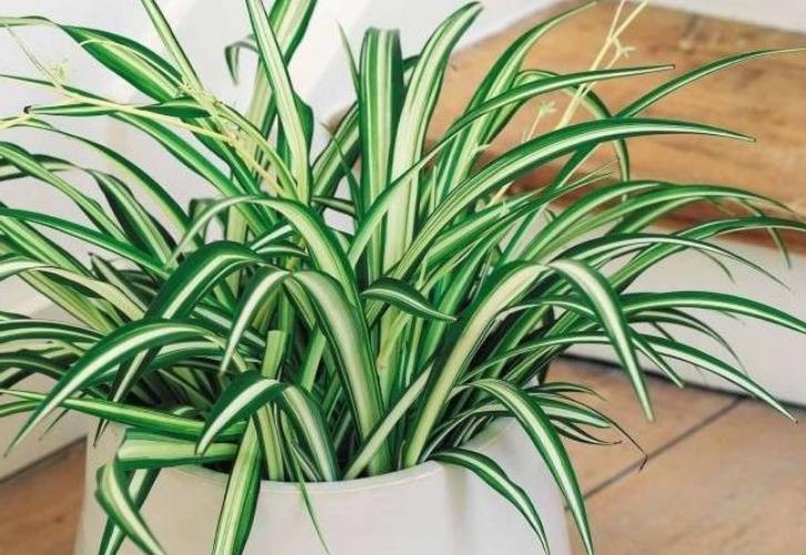 Хлорофитум советуют держать в офисах, чтобы уменьшить склоки и конфликты. Растение в доме обладает уникальной способностью очищать воздух и поглощать неприятные запахи