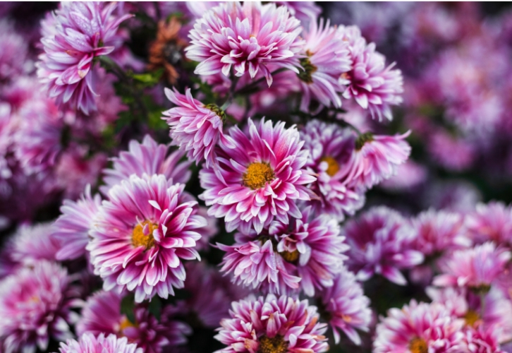 Хризантему советуют держать в доме всем, кто страдает от душевных колебаний и неуверенности в себе. Растение подарит спокойствие и уверенность в себе