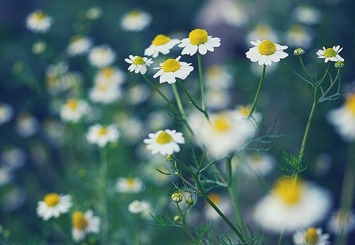 Девы практичны во всем, в том числе и в выборе цветов. Им импонируют ромашки и любые другие полевые цветы. Охапка свежих цветов в любимой вазе, особенно собранных своими руками, будет радовать их лучше, чем «безликий» букет роз из цветочного магазина. К тому же, что так может помочь в борьбе со знаменитым перфекционизмом Дев, как не полевые цветы.