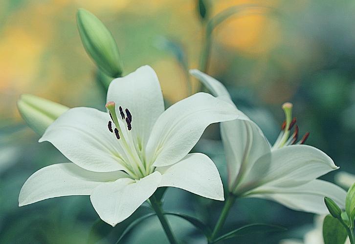 Идеальные цветы для Раков — розы и лилии. Никто так серьезно не относится к чувствам и любовным переживаниям в зодиаке, как эти тонкие и ранимые натуры. Букет из роз станет для романтично настроенных Раков символом искренней глубокой любви. Лилии сделают их добрее и терпимее, что непременно скажется со знаком плюс на их отношениях.
